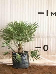 Stock Growth Chart European Fan Palm Palms Online