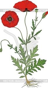flowers leafs seed  roots  poppies vector clipart
