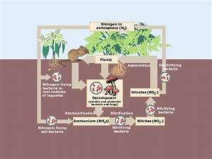 What Are The 4 Steps Of Nitrogen Cycle