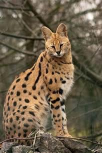serval cat ideas