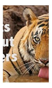 7 facts about Tigers - YouTube