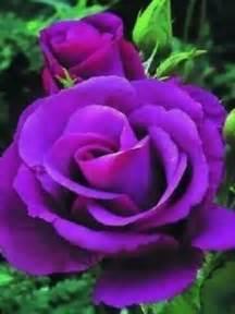 Beautiful Purple Rose
