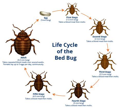 Bed Bugs by Bed Bug Facts A1 Exterminators Bed Bug Ma