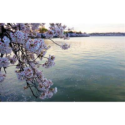 Ultimate Guide To The National Cherry Blossom Festival In