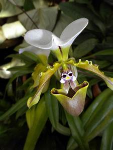 Daudz Laimes Mad Snapper Orchids Have Faces
