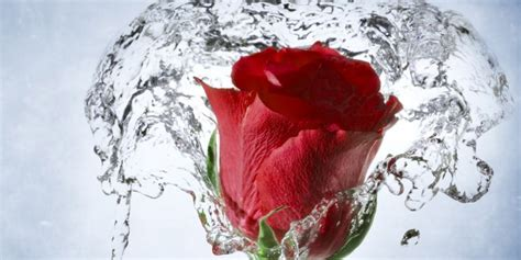 red rose  water hd wallpaper hd latest wallpapers