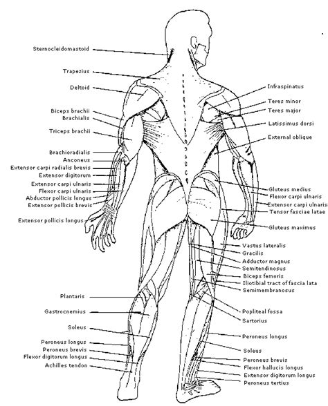 I hope you find them as useful as i do. Physiology - Identification of Muscles on the human body