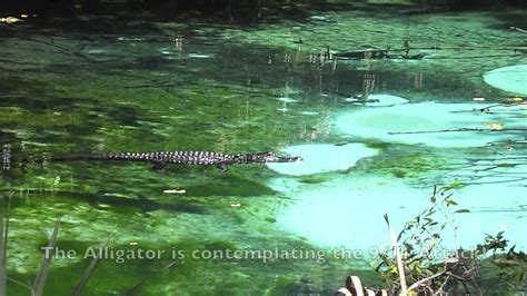 Alligator Attack - YouTube