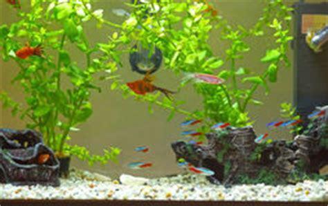 poissons au n 233 on bleus 233 lectriques de demoiselle photos libres de droits image 19751178