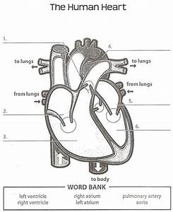 Human Anatomy Labeling Worksheets Tag Heart Anatomy Labeling Worksheet Human Anatomy Diagram