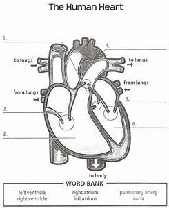 Human Anatomy Labeling Worksheets Tag Heart Anatomy Labeling Worksheet Human Anatomy Diagram