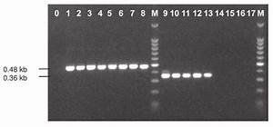 Pcr Amplification Using Primers Bc 108   And Bc 563  U2013 On 1