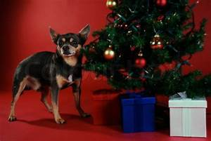Free Chihuahua Christmas Wallpaper - WallpaperSafari