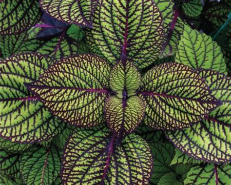 green coleus plant coleus fishnet stockings green leaves with an intricate web of purple veins the goth