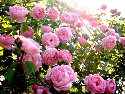 cuisine modernes les rosiers anglais atouts variétés