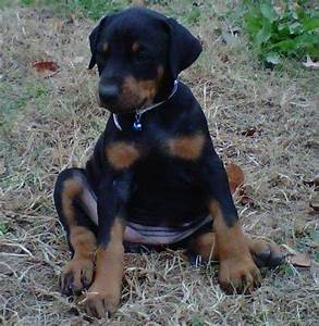 AKC DOBERMAN PINSCHER PUPPIES FOR SALE ADOPTION from ...