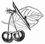 Barometer Botanical Fruit Cliparts Library Clipart Cherry Clip sketch template
