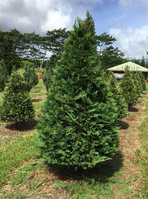 insider tips how to make your christmas tree last longer