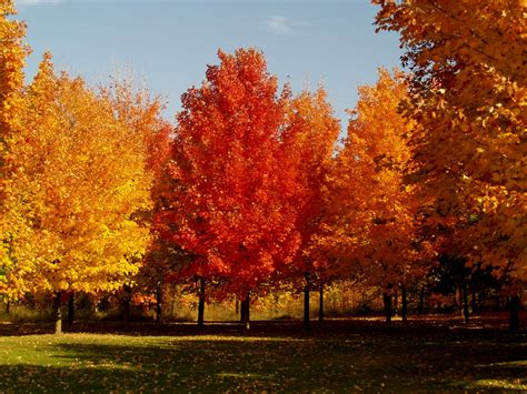 maple tree in the fall a holiday queen s blog it is maple sugar time