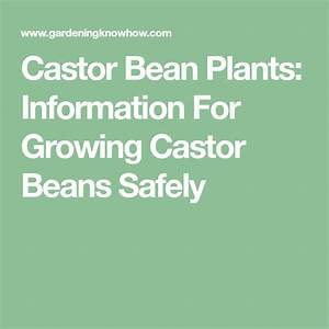 Castor Bean Information  U2013 Planting Instructions For Castor
