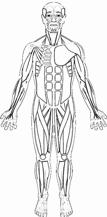 Coloring Muscles Human Muscle Key Anatomy System