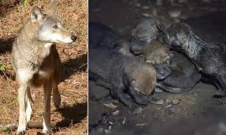 endangered red wolf  birth   pups   museum