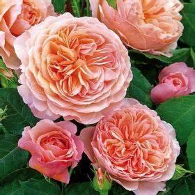 Rosen Kaufen Günstig : pflanzen rosen englische rosen englische rosen 39 william morris 39 blume rose ~ Markanthonyermac.com Haus und Dekorationen