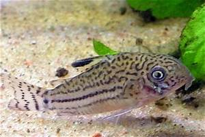 Leopard catfish (Perrunichthys perruno) - Pictures and ...