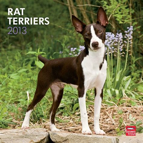 17 best images about jack russell rat terrier on pinterest