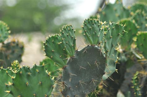 picture cactus leaf plant herb thorn green