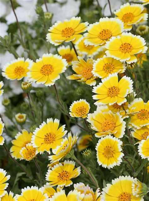 layia platyglossa tidy tips buy   annies annuals