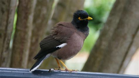where can i buy a mynah bird reference com