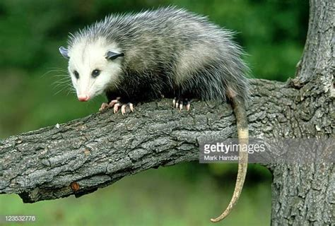 Possum Images Opossum Stock Photos And Pictures Getty Images