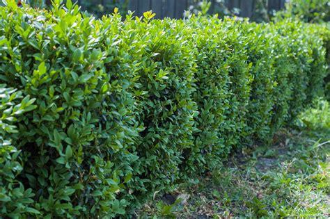 Alternative Für Buchsbaum die 6 besten alternativen zum buchsbaum immergr 252 ner