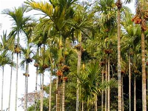 Import And Export of Agricultural Products   betel nut