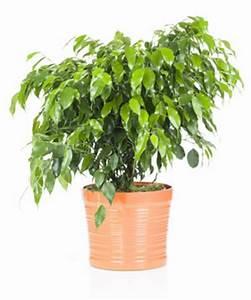 Ficus Benjamini Vermehren : birkenfeige ficus benjamini pflege tipps bei blattverlust ~ Lizthompson.info Haus und Dekorationen
