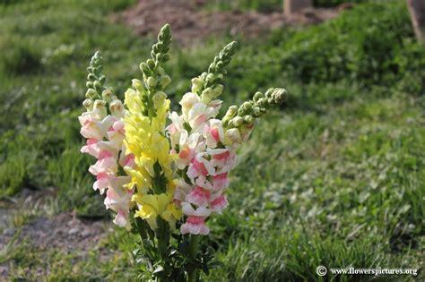 snapdragon flower snapdragon flower picture 20