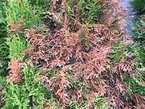 Thuja Hecke Innen Braun : lebensbaum orientalischer lebensbaum 39 brabant 39 ~ Buech-reservation.com Haus und Dekorationen