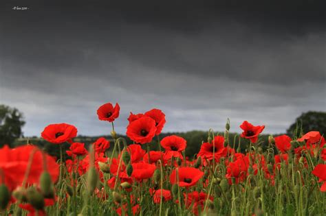 poppy fields remembrance day remembrance day wallpapers wallpaper cave