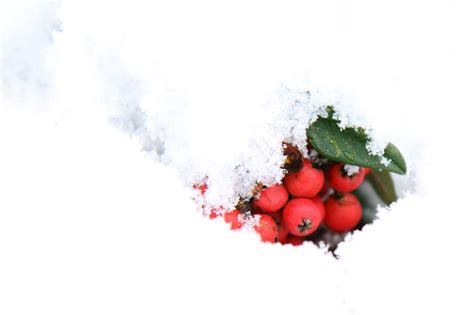 red berries  snow  stock photo public domain pictures