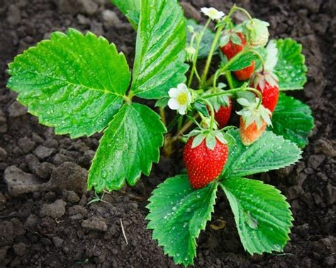 strawberry plants strawberry plants not producing thriftyfun