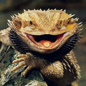 Bearded Dragon Fact Sheet – BB's Crazy Menagerie