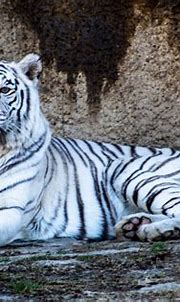 White Tigers And All Things You Should Know About ...
