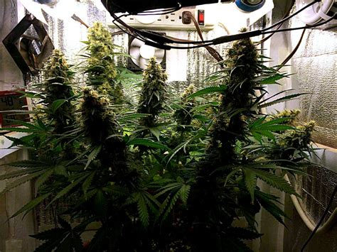 How To Grow Weed With Organic Super Soil