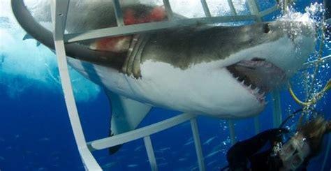 close encounter   great white shark scubaverse