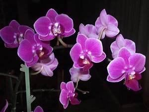 Venusfliegenfalle Pflege Haltung : orchideen teil 2 pflegetipps vom bodenpersonal ~ Watch28wear.com Haus und Dekorationen