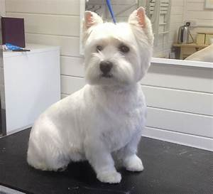 West Highland Terrier Haircut | www.imgkid.com - The Image ...