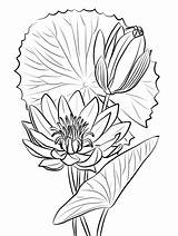 Coloring Lily Water Pages Printable Onlinecoloringpages Sheet Print sketch template