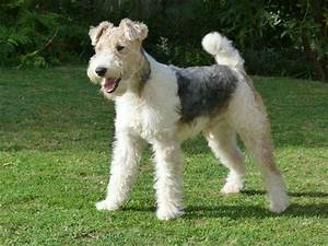 Pure Bred Wire Hair Fox Terrier puppies for sale! Graaff ...