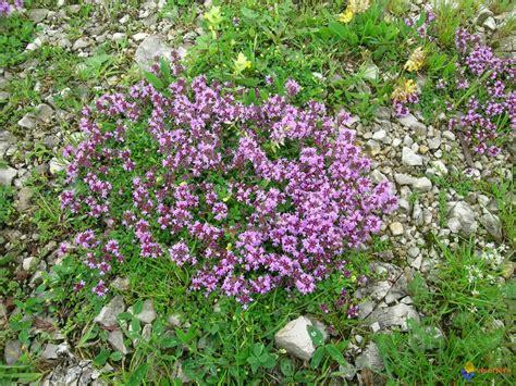 fleur de thym cuisine photo parterre de thym serpolet